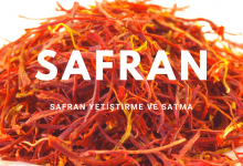 Photo of Safran Yetiştiriciliği, Safran Nasıl Yetiştirilir?